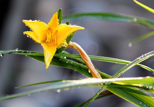 Morning-Dew-on-Yellow-Flower